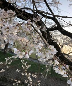 桜(接写)1