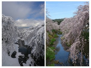 桜比較(縦)